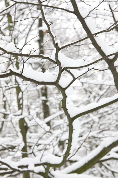 Zweig_mit_Schnee